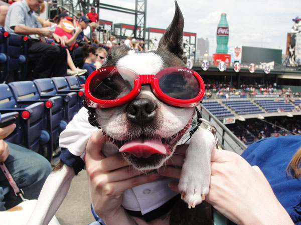 Atlanta Braves Bark in the Park Dog Day Boston Terriers Meetup