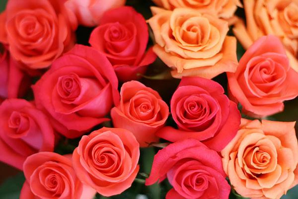 1-rainbow-roses