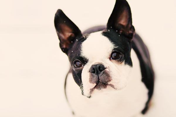 snow boston terrier puppy howie