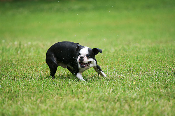 Image of Boston Terrier with Background Blur