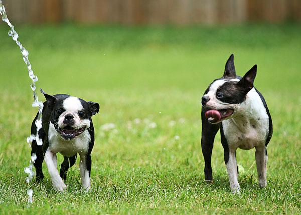 Boston Terriers Attack!