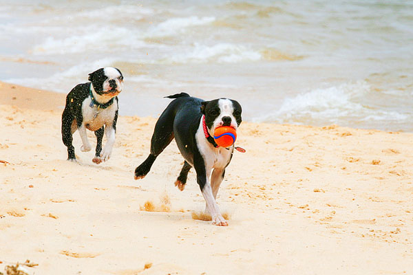 Boston Terriers on the Beach