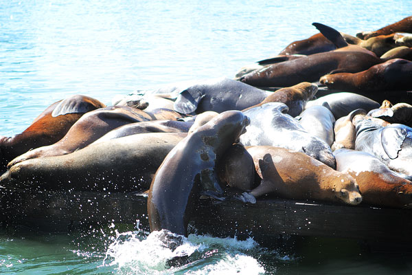 How Sea Lions are Just Like Puppies