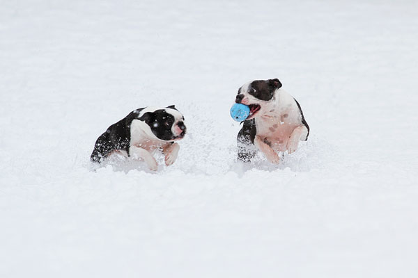 Boston Terriers in the Snow