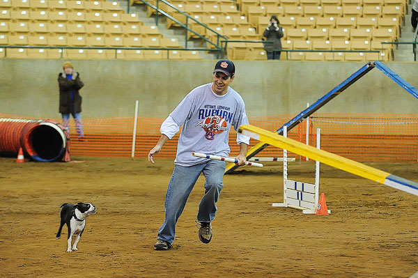 AKC Master Agility Champion Miley the Boston Terrier