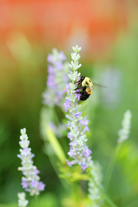 Lavender & Bumble Bee