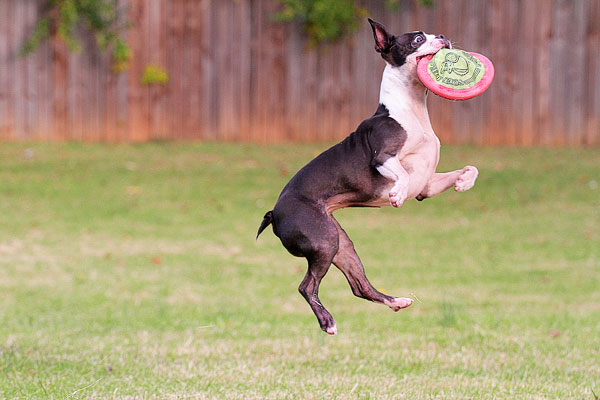 Image of a Boston Terrier Catching a Frisbee