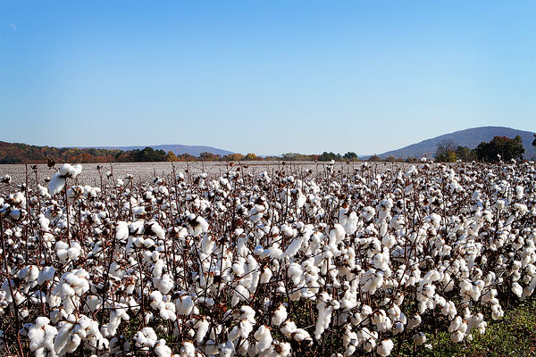 Alabama Cotton Field Picture