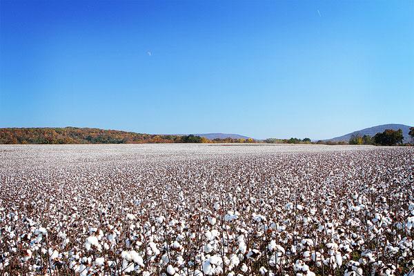 Alabama Cotton Field Photo