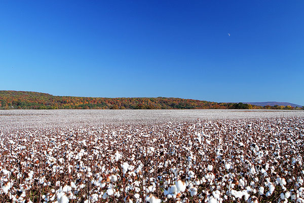 Cotton Plants In Alabama During Fall