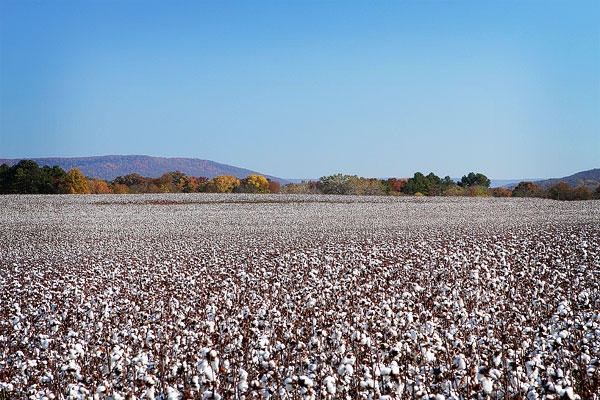 Picture Of Alabama Cotton Plants