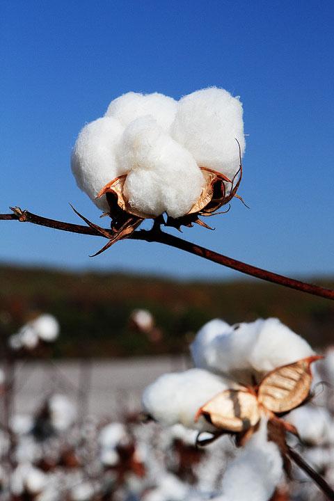 Cotton Plant Photo