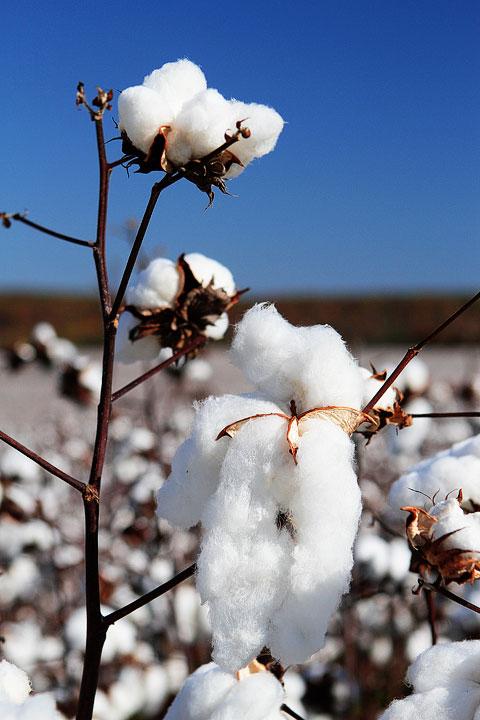 Alabama Cotton Field Plant
