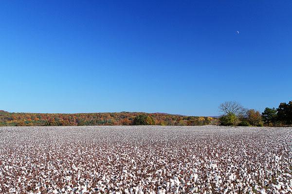 Alabama Cotton Fields