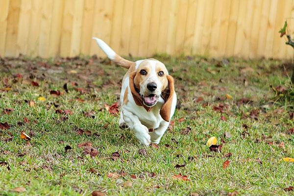 Louie the Lemon Basset Hound Puppy