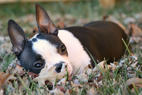 Image of a Boston Terrier Laying in the Grass