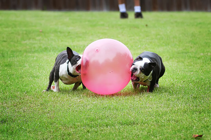 Miley & Howie, the Boston Terrier Puppies