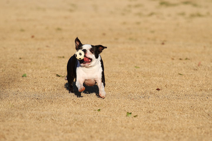 Make It or Miss It? Guess whether this Boston Terrier catches the frisbee! kevinandamanda.com