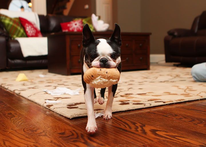 Miley and Howie Boston Terrier Christmas