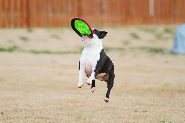 Boston Terrier Catches Frisbee