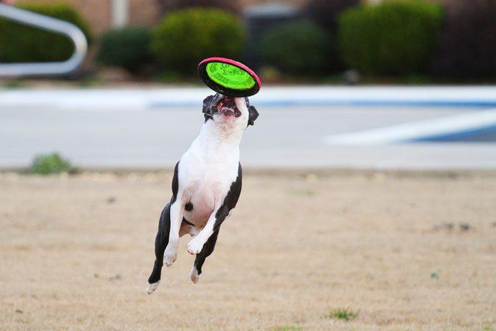 Boston Terrier Fetching Frisbee