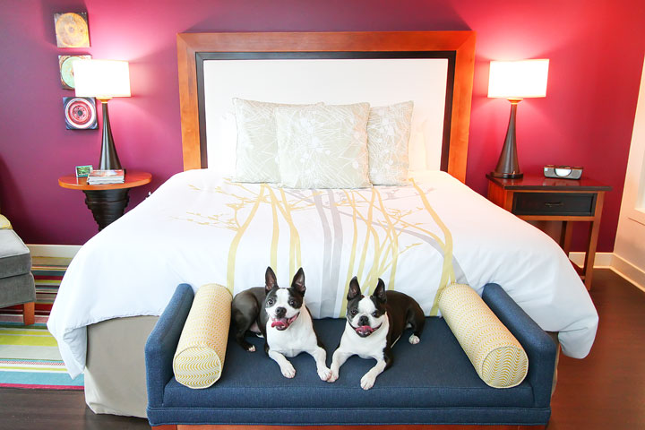 Miley and Howie, Boston Terrier puppies, live it up at the Hotel Indigo in Downtown Asheville. This is where the Hunger Games trio of stars stayed when they filmed here!