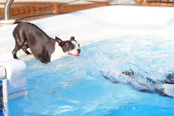 Boston Terriers Swimming