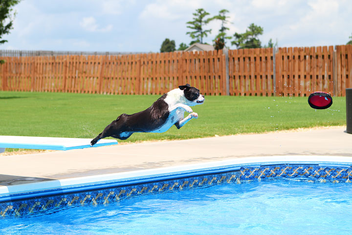 Boston Terrier Catching Frisbee off the Diving Board -- Photo 1