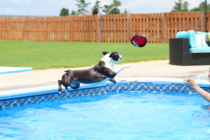 Boston Terrier Catching Frisbee off the Diving Board -- Photo 2
