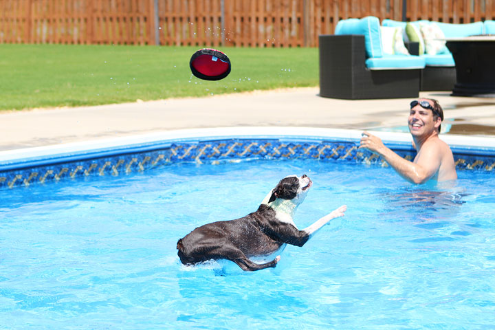 Boston Terrier Catching Frisbee off the Diving Board -- Photo 3