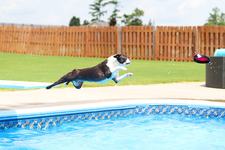 Boston Terrier Catching Frisbee off the Diving Board -- Photo 5