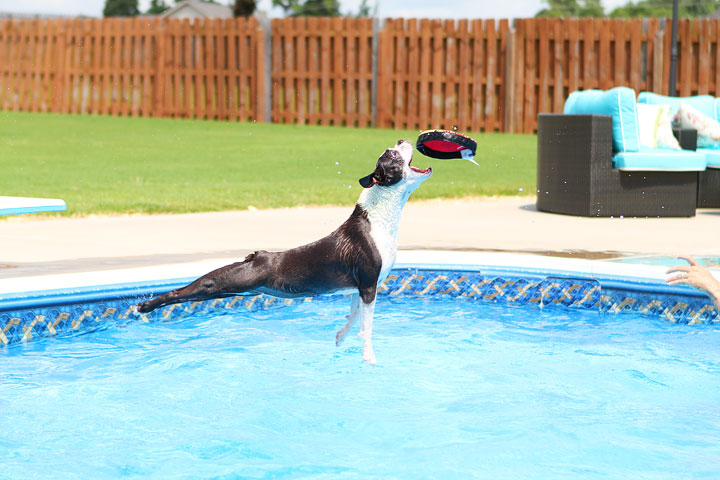 Boston Terrier Catching Frisbee off the Diving Board -- Photo 6