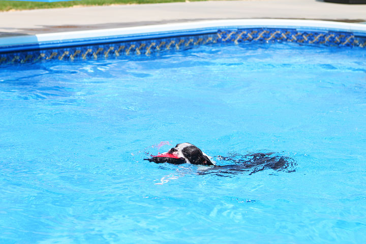 Boston Terrier Catching Frisbee off the Diving Board -- Photo 8