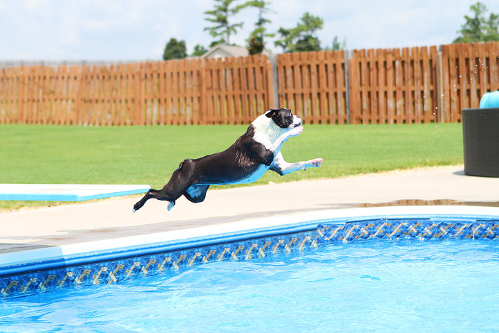 Boston Terrier Catching Frisbee off the Diving Board -- Photo 9