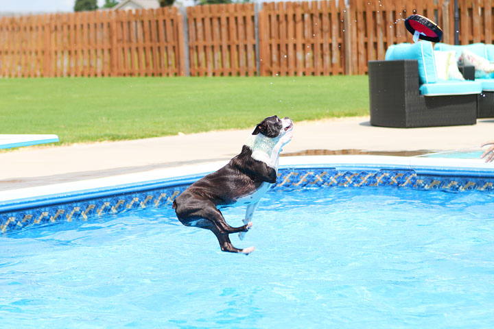 Boston Terrier Catching Frisbee off the Diving Board -- Photo 10