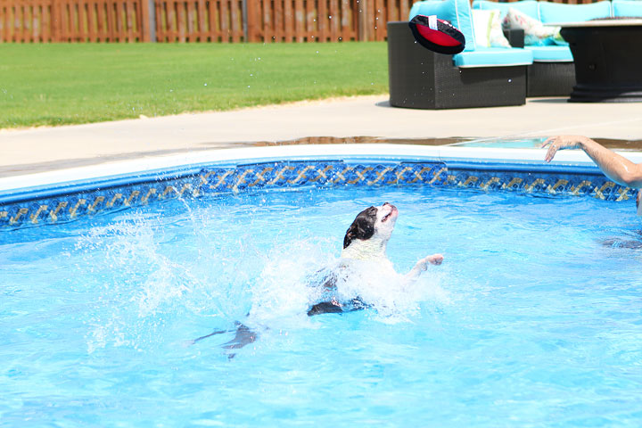 Boston Terrier Catching Frisbee off the Diving Board -- Photo 11