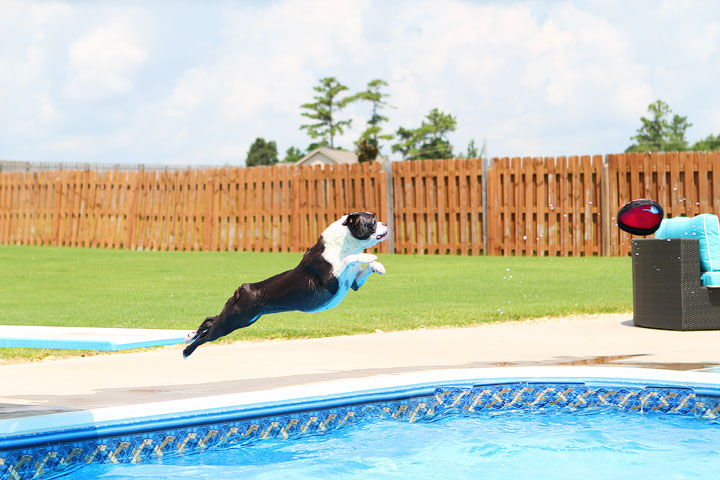 Boston Terrier Catching Frisbee off the Diving Board -- Photo 13