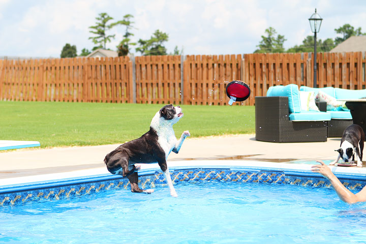 Boston Terrier Catching Frisbee off the Diving Board -- Photo 14