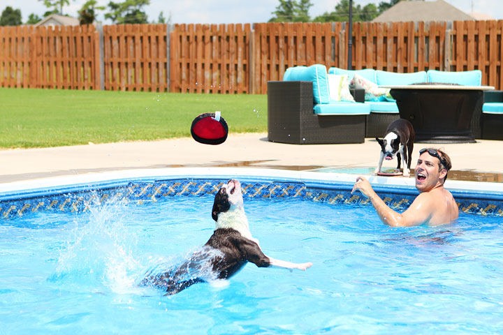 Boston Terrier Catching Frisbee off the Diving Board -- Photo 15