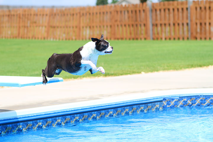 Boston Terrier Catching Frisbee off the Diving Board -- Photo 17