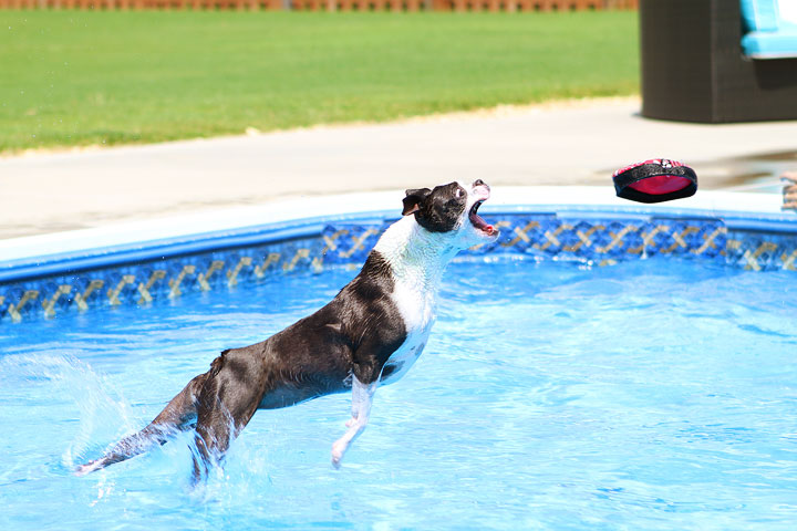 Boston Terrier Catching Frisbee off the Diving Board -- Photo 18