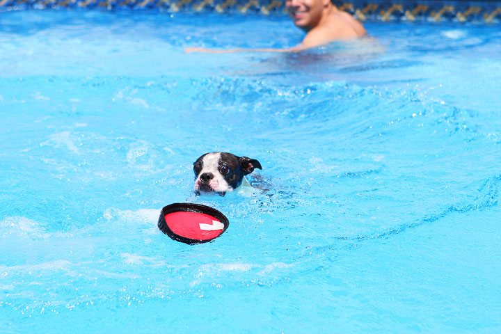 Boston Terrier Catching Frisbee off the Diving Board -- Photo 20