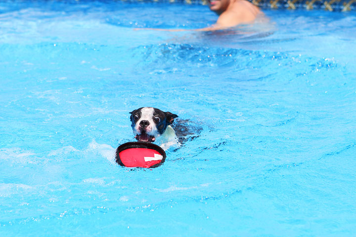 Boston Terrier Catching Frisbee off the Diving Board -- Photo 21