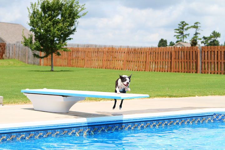 Boston Terrier Catching Frisbee off the Diving Board -- Photo 24