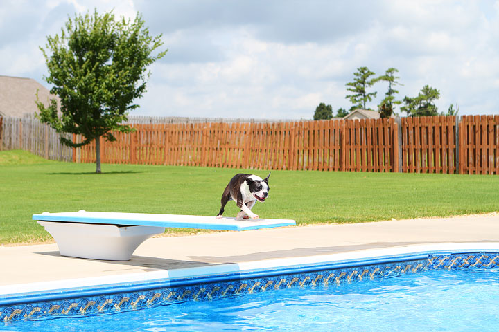 Boston Terrier Catching Frisbee off the Diving Board -- Photo 25