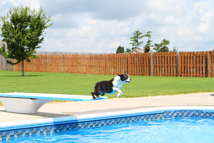 Boston Terrier Catching Frisbee off the Diving Board -- Photo 26