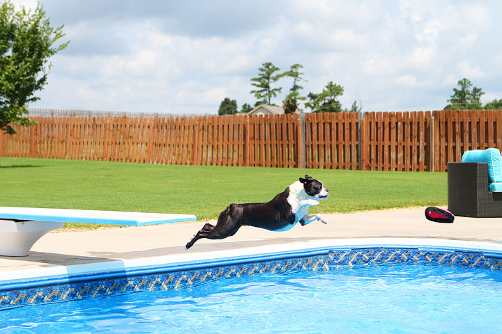Boston Terrier Catching Frisbee off the Diving Board -- Photo 27