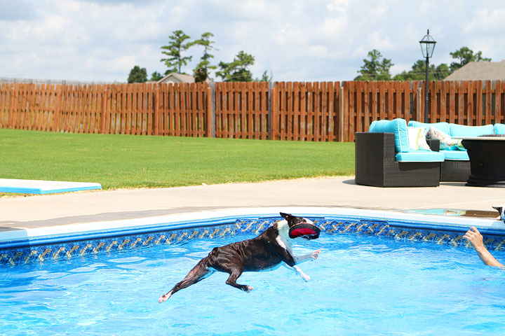 Boston Terrier Catching Frisbee off the Diving Board -- Photo 28