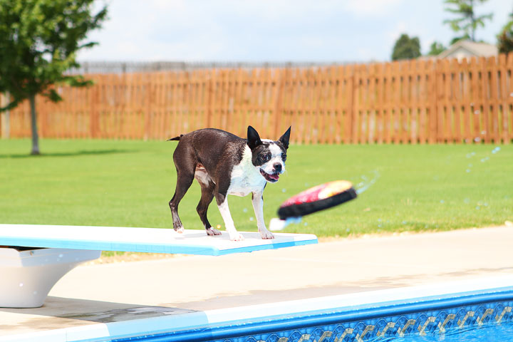 Boston Terrier Catching Frisbee off the Diving Board -- Photo 32
