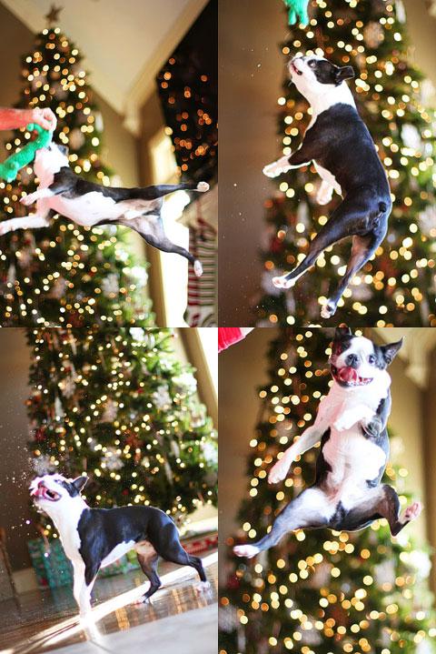 boston-terrier-christmas-tree-collage